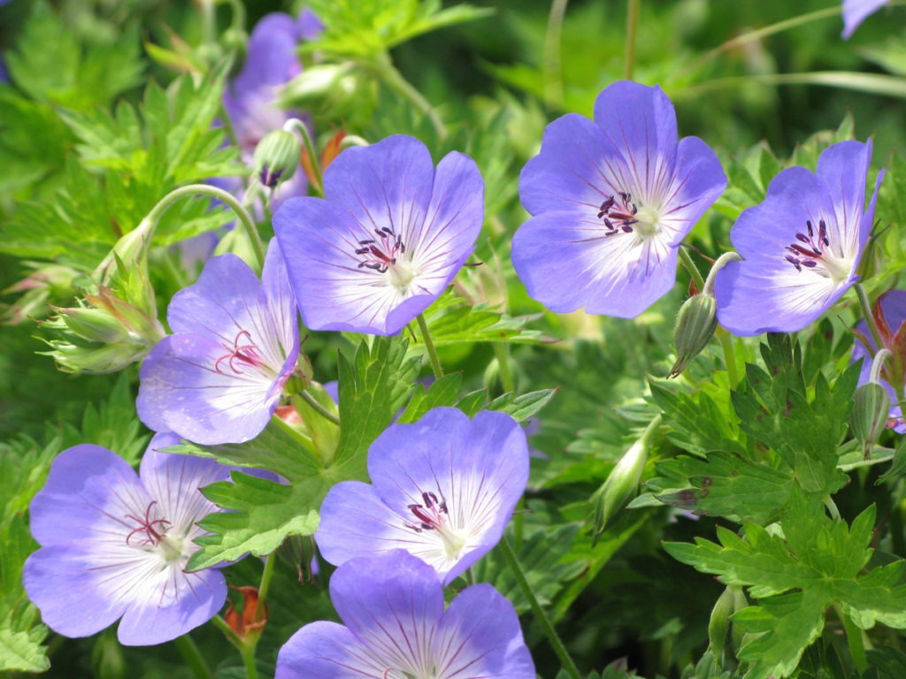 bodziszek kwitnący na niebiesko