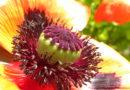Mak ogrodowy – metamorfozy