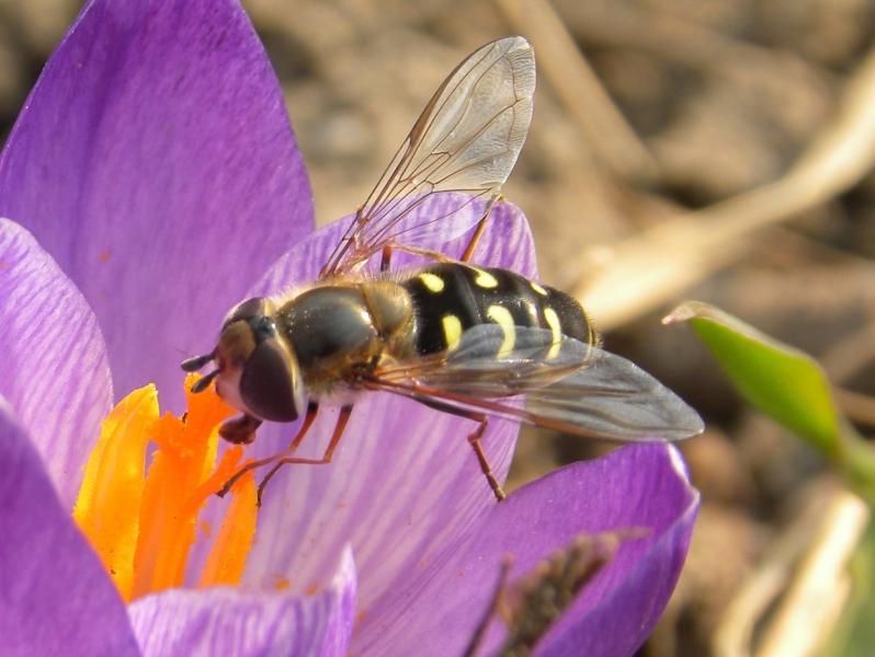 owady zapylające