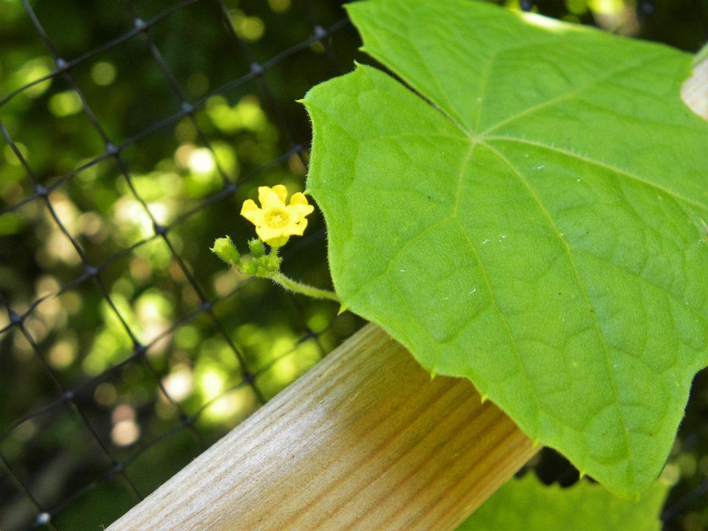 kwiat ogórka meksykańskiego