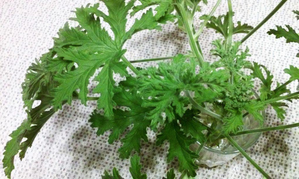 geranium sadzonki